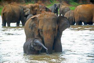 слоныха и слоненок пинавелла