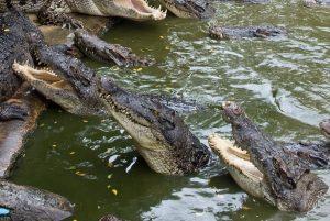 кормлениие крокодилов