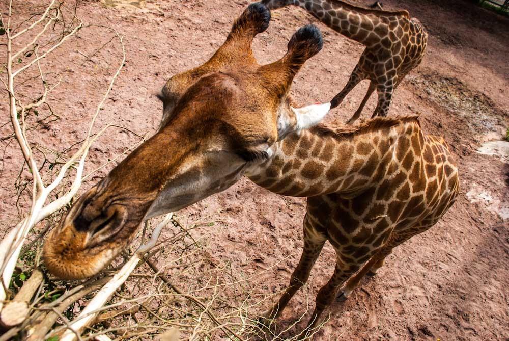 жираф на крокодиловой ферме